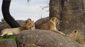 Foto de leones capturada con Sony HDR-PJ260V